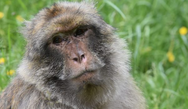 Looking for a unique gift idea for a loved one? Look no further! Monkey Forest Gift Vouchers are available to buy. Support the protection of Barbary macaques and spread the word by gifting the Monkey Forest experience to friends and family.