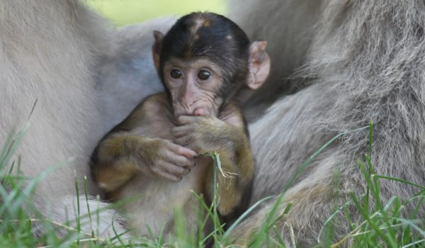 The forest is thrilled to have welcomed 9 baby monkeys into the world. Visitors are encouraged to come see the bundles of joy explore their new world.