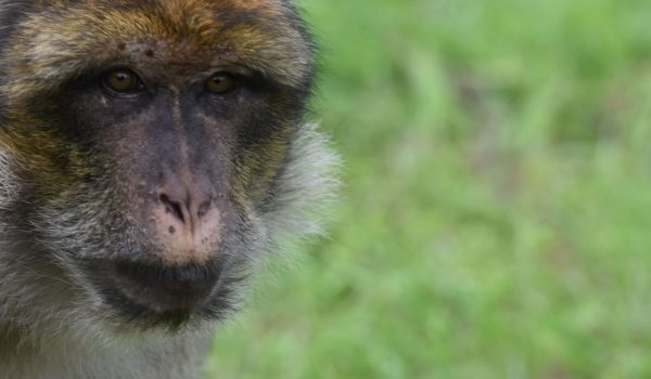 JOIN our troop and become a member of the Monkey Forest family today. Have a year of UNLIMITED visits during seasonal opening times and support the crucial conservation of Barbary macaques. EXCLUSIVE benefits and events are available for members - don't miss out! SAVE money on every visit.