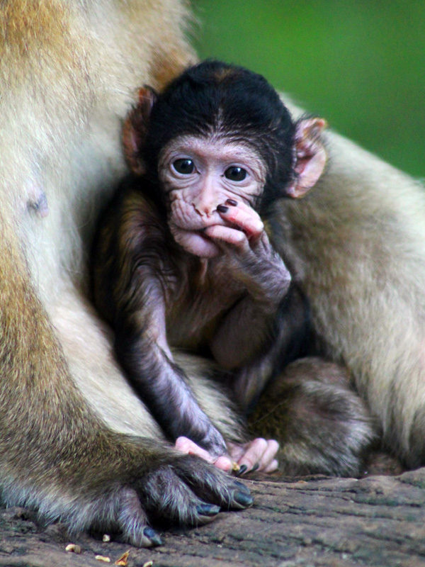 Baby Barbary macaque
