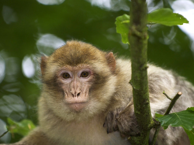 See the monkeys at Trentham Monkey Forest