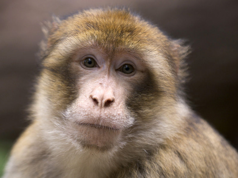 Female Barbary macaque