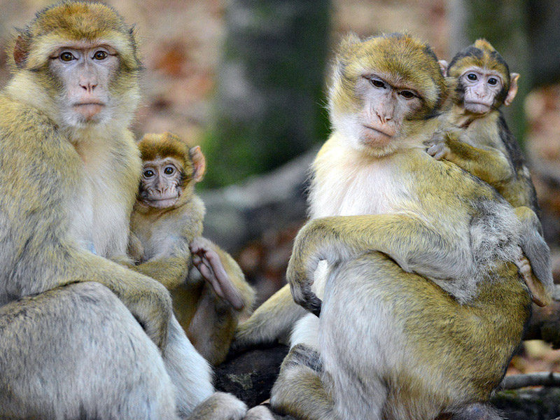 Meet the monkeys at Trentham Monkey Forest